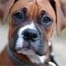 766_boxer_H113415_S.jpg